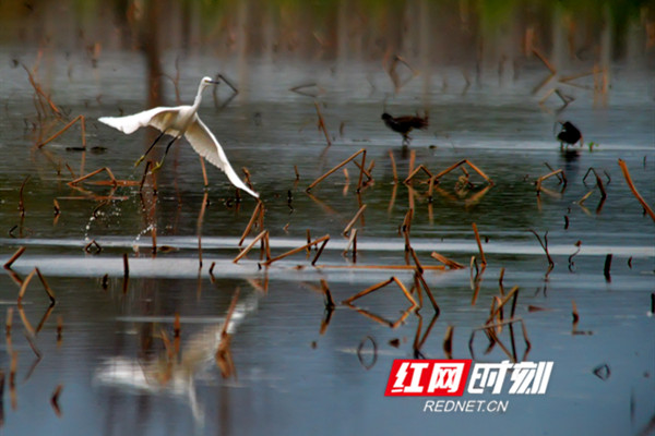 丰富的湿地类型和湿地植被为湿地动物提供了良好的栖息环境,以及充足的食物供给,每逢春季,许多候鸟纷纷到当地繁衍生息。(黄海)