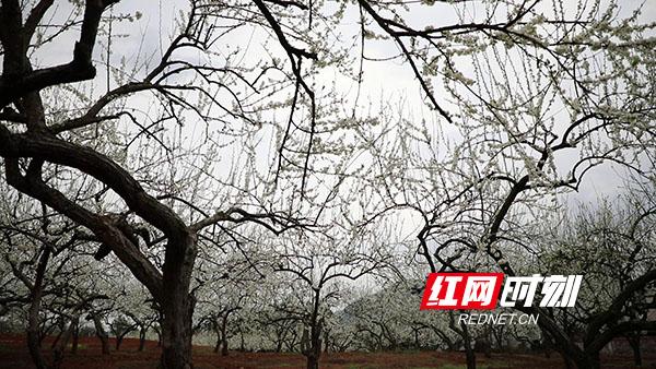 日前,永州新田县骥村镇的万亩果园里,大片的李花迎来盛放期。(新田融媒记者 蒋军君)