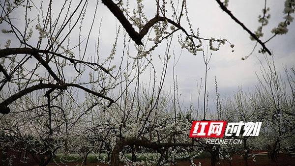 永州新田县骥村镇的万亩果园里李花盛开。(新田融媒记者 蒋军君)