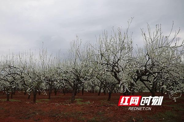 永州新田县骥村镇的万亩果园里盛开的李花。(新田融媒记者 蒋军君)