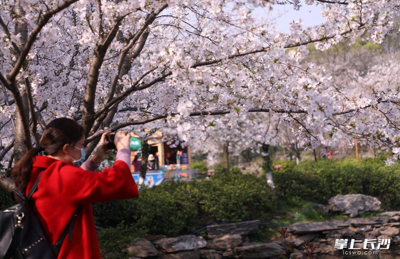 省森林植物园樱花郁金香盛开,吸引了市民、游客踏青赏景。长沙晚报全媒体记者 周柏平 通讯员 彭炜 摄影报道
