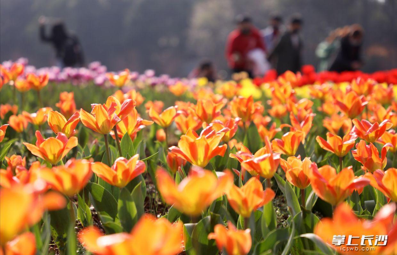 美!省植物园樱花盛开