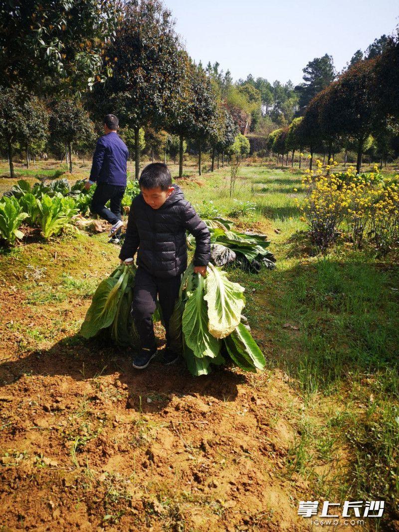 天心区实验小学学生许荣锋在地里帮爷爷干了一天活。