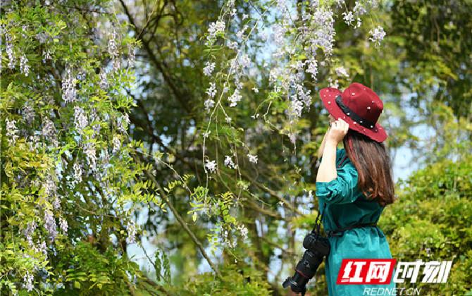 春来万物生丨清花湾的紫色浪漫