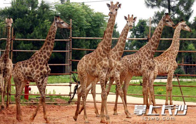 高冷的长颈鹿让人高不可攀。图片均为长沙晚报全媒体记者贺文兵 通讯员 刘姝伶 摄影报道