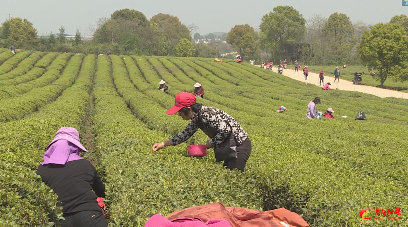 洣江茶业:带动当地村民在家门口实现就业增收