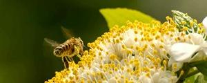 近距离偷拍贪吃小蜜蜂 浑身沾满花粉飞不动了