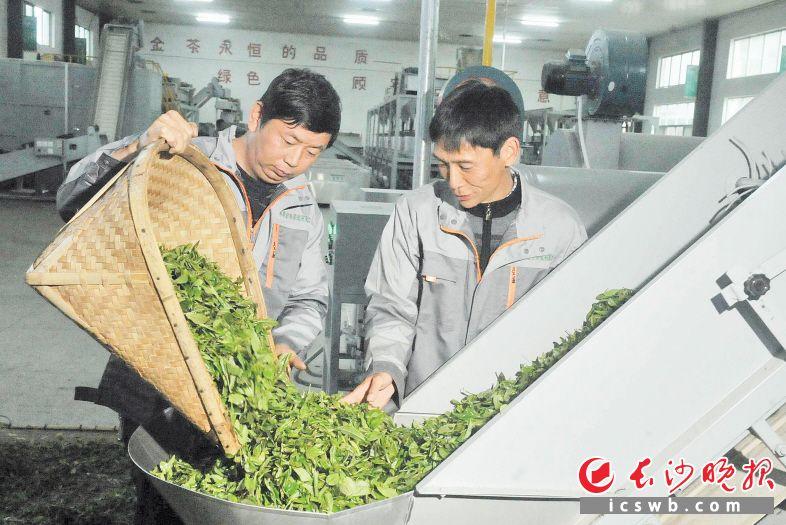 饶永红(左)在金井茶厂找到了一份工作,工作时间灵活,还能照顾家里。  长沙晚报全媒体记者 贺文兵 摄