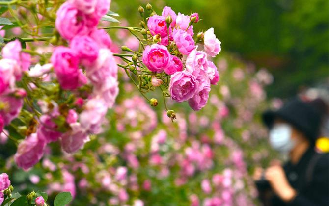 熟悉的地方也有风景 烈士公园蔷薇壮观如墙