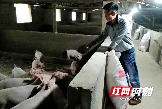 毛成明正在给生猪喂食。.jpg