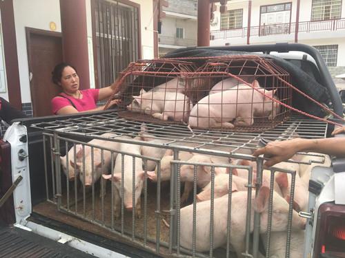 猪1.jpg
