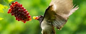 红嘴蓝鹊吃葡萄 一口一个不输人
