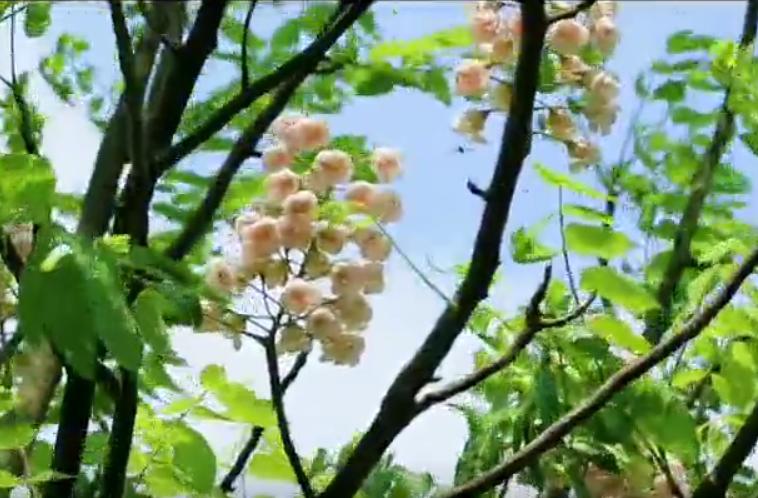 """初夏永州阳明山 国家一级保护植物""""伯乐""""花开时"""