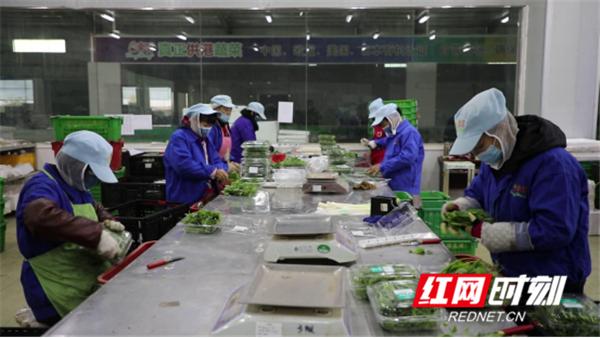 """新田东升村:发展富硒蔬菜产业 架起村民""""致富桥""""1222_副本.png"""