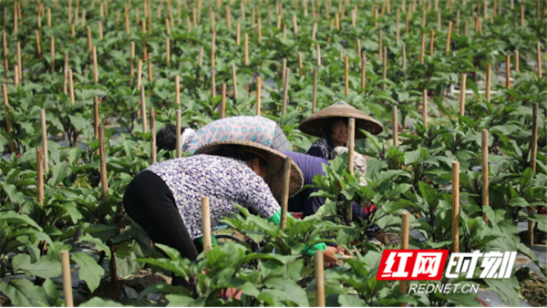 """新田东升村:发展富硒蔬菜产业 架起村民""""致富桥""""582_副本.png"""