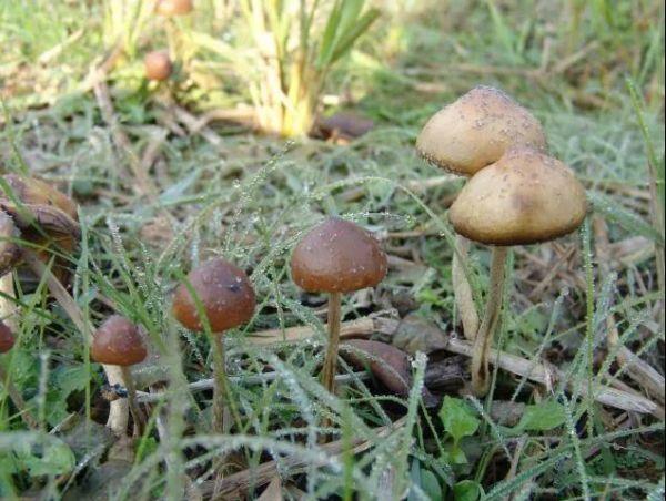 苏梅岛裸盖菇