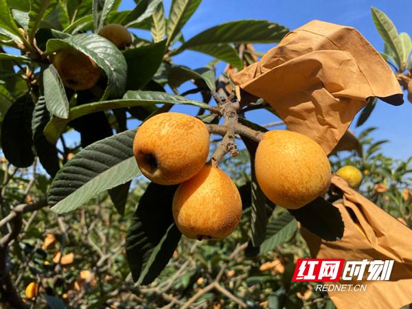 花果山里的脱贫故事丨常德津市:金色枇杷 满是阳光的味道