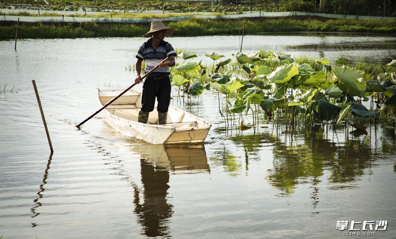 农户因荷花虾而脱贫致富。龙宇摄