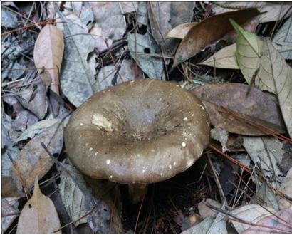 亚稀褶红菇