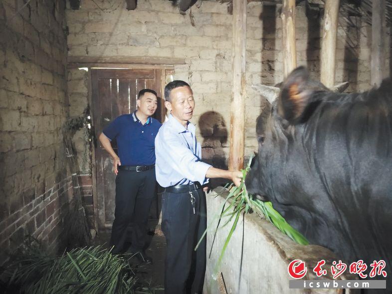 """走访贫困户林清国时,看到牛栏里的""""扶贫牛""""长得又高又壮,谢平(左)马上帮老林联系销路。长沙晚报全媒体记者  李静摄"""