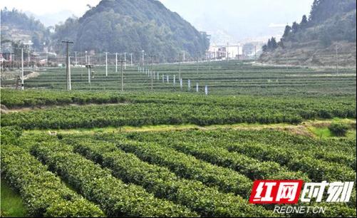 """揭秘!出身""""高贵"""",培育严苛的常宁塔山茶是如何炼成的"""