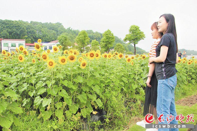 盛开的向日葵构成一片壮观花海,吸引市民游客驻足、流连。