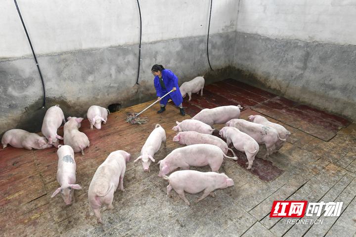 合群村村民在打扫猪圈。邵颖 摄.jpg