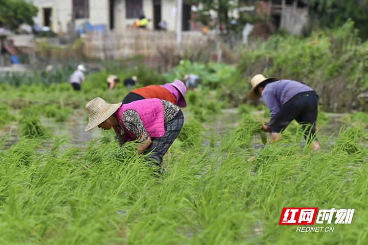 村民在稻田里插优质稻秧苗。邵颖 摄.jpg