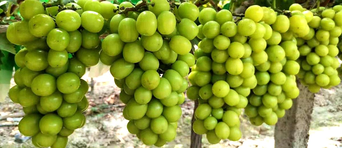 视频丨澧县的葡萄