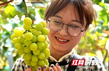 品美味赏美景尽情嗨 澧县葡萄产业盘活乡村休闲农业