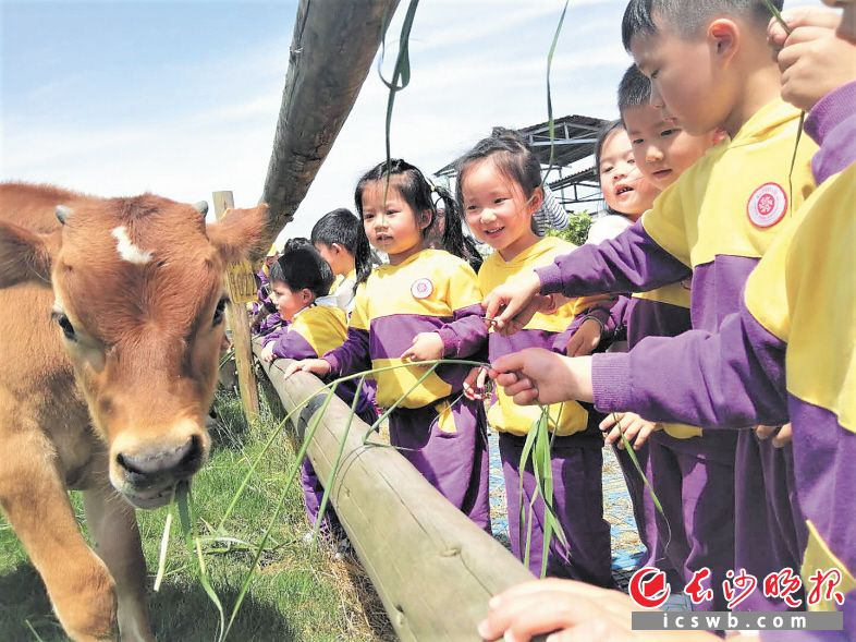 在落户双江口镇的优卓牧业农场,孩子们第一次和小奶牛亲密接触。图片均为受访方提供