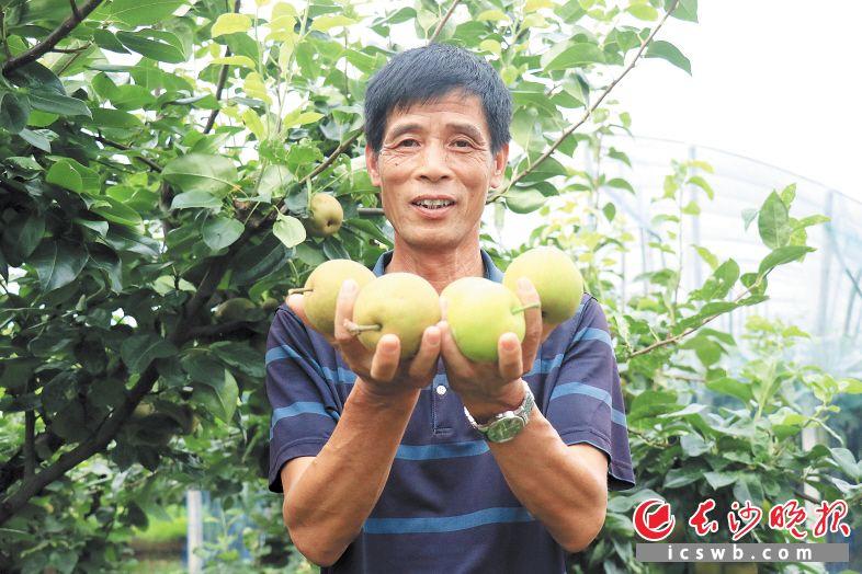 水果基地的梨子丰收了,李运图开心不已。长沙晚报通讯员 李紫薇 摄