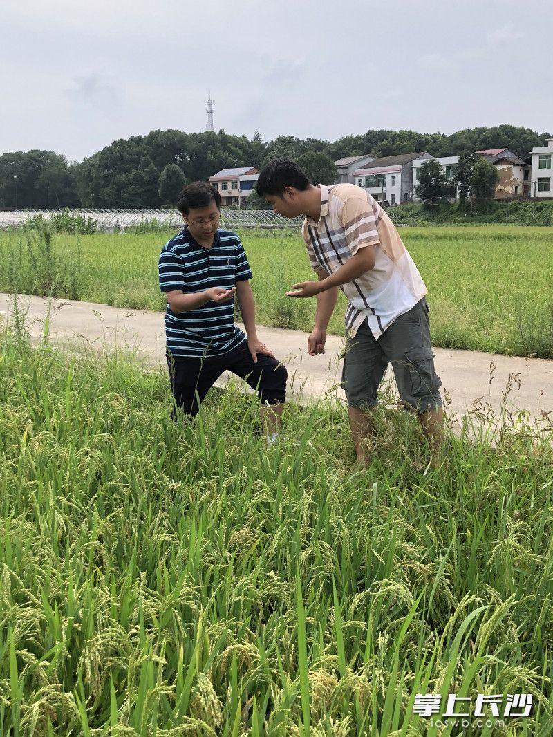 长沙市农业科技特派员、湖南农业大学副教授刘双清(左)正在合作社进行田间指导。