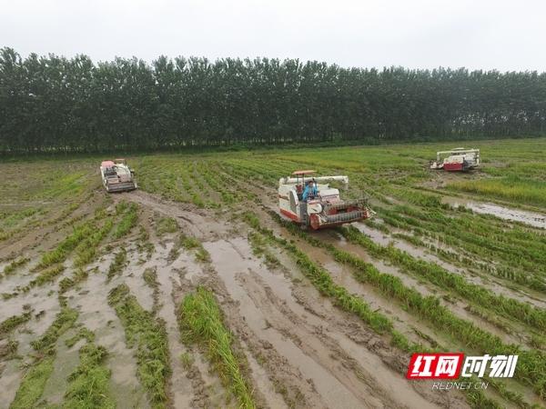 """益阳大通湖区进入""""双抢""""模式 早稻收购同时进"""