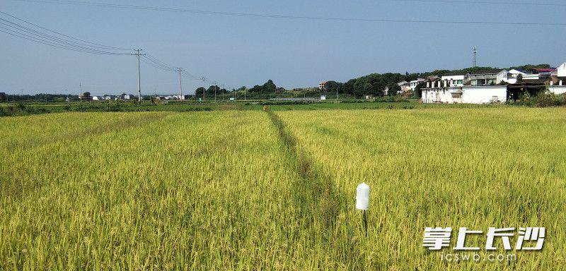 合作社数百亩早稻迎来丰收。