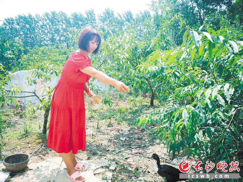 ←22日,王丽娥正在自家桃林里喂鸭,早几天这片桃林为她家带来了8000多元收入。均为长沙晚报全媒体记者 朱华摄