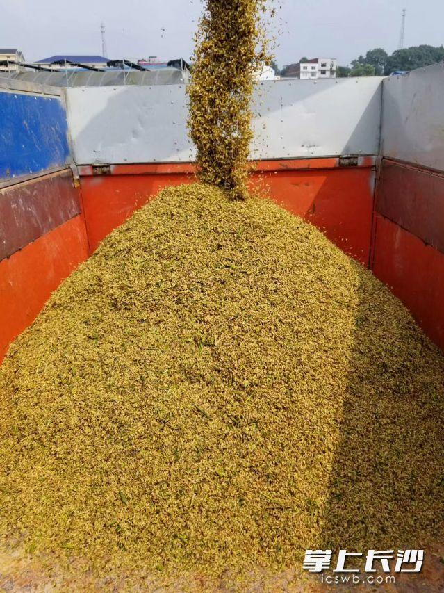 刚收割的稻谷,即将进入烘干设备。长沙晚报全媒体记者 钱娟 摄