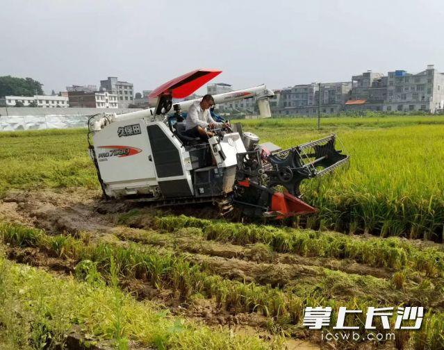浏阳种田大户正在稻田里收割,喜迎早稻丰收。