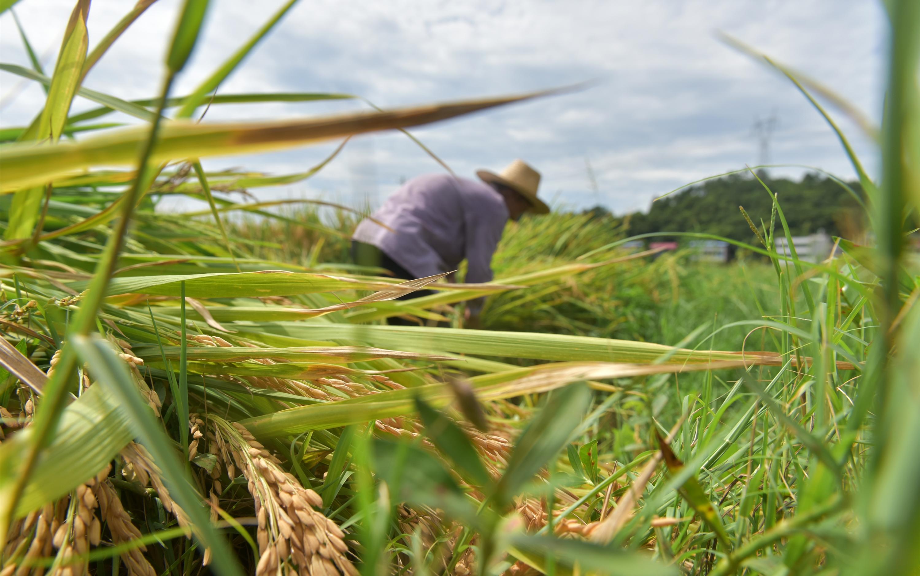 组图丨衡东中稻丰收:手中有粮 心中不慌