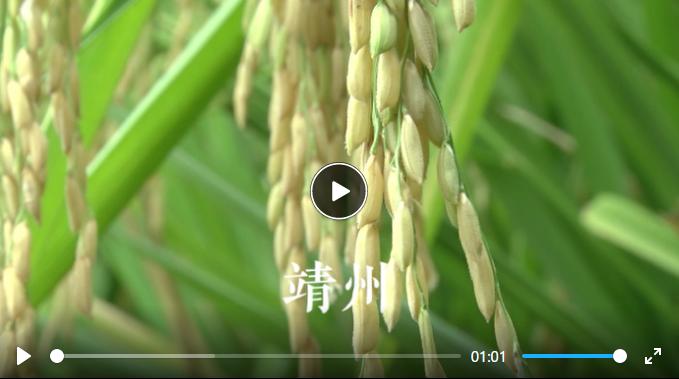 加油吧小稻种|再生稻品种对比试验 看完潜力再推广增产增收喽