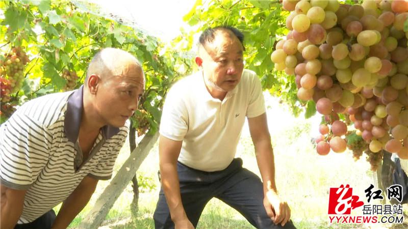 李大树查看余琪的葡萄种植情况.jpg