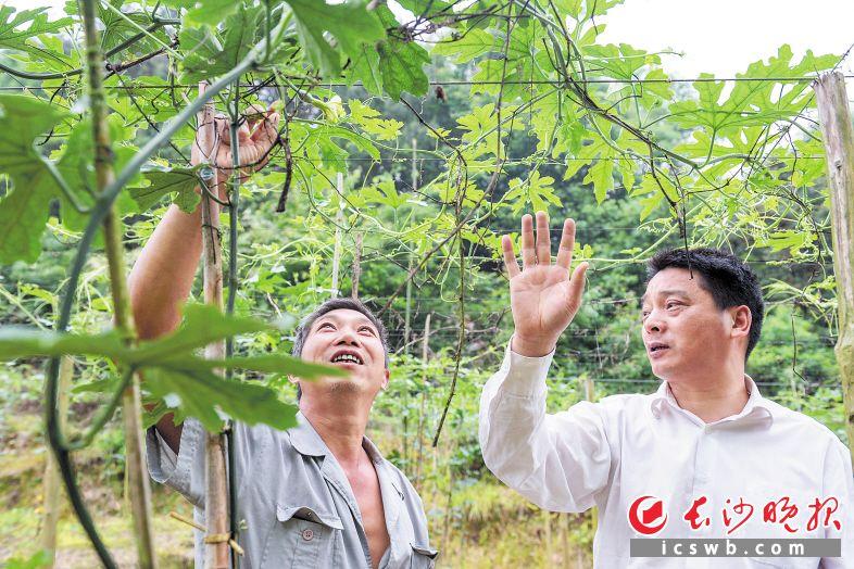 ←望城区禾丰村,驻村第一书记罗正彬(右)和贫困户罗佳高在吊瓜地里聊起了今年的收成。