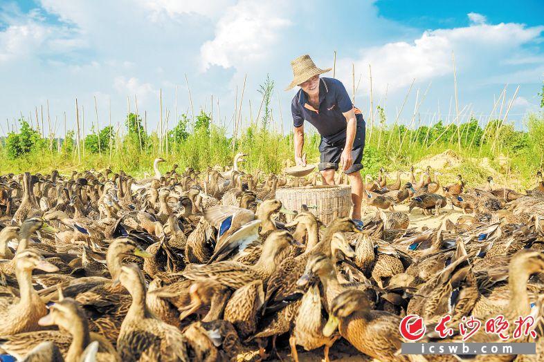 ↑望城区茶亭镇大龙村开展产业扶贫,贫困户姚建在家门口既能实现务工又学习了技术,通过喂养野鸭子,一年下来能有四万多元收入。