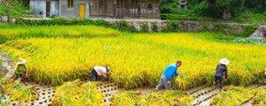 手工割稻:现代农业中罕见的风景