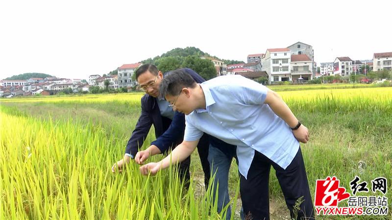 检查组查看水稻.jpg