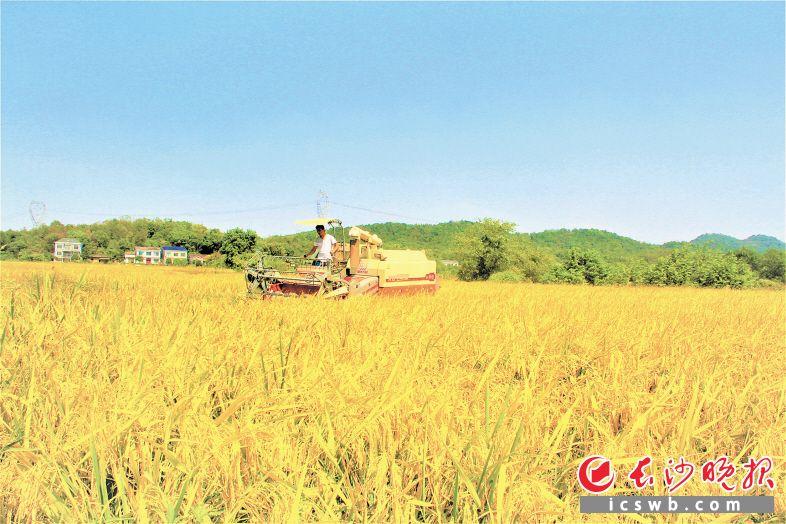 秋风送爽吹拂金色稻田,宁乡夏铎铺镇种粮大户驾驶收割机,正在收获着丰年的喜悦。陈燕 摄