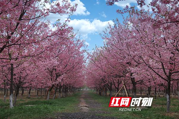 印山百万樱花园.jpg