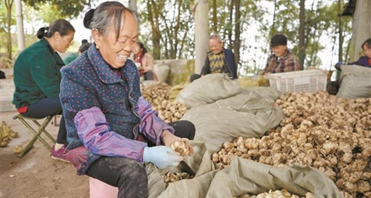 """湘西龙山:""""逮""""住百合,人均8千块"""