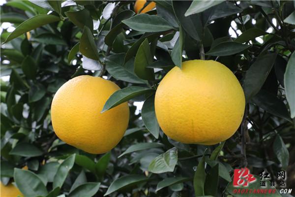 道县:小脐橙化身致富果 助力贫困户增收