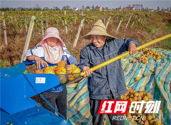 合作社为防范风险,增加贫困户收入,调整产业结构,种植瓜蒌获得丰收,亩产收入是种植水稻的3倍.jpg